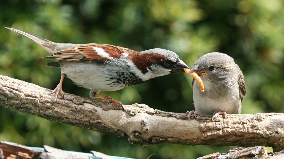 Male House Sparrow (Passer domesticus) feeding fledgling with beetle larva, Shrewsbury, UK (Photo ©: Maurice Baker)