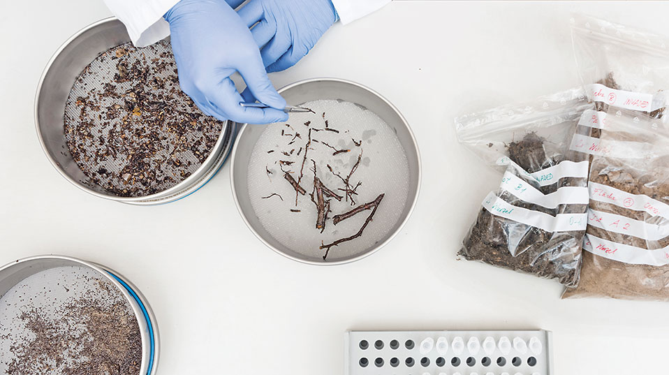 Sieving and washing: In the lab, the roots and rhizomes are extracted by sieving and washing the soil samples. The fragments are then freezedried and ground. (Image: University of Basel, Christian Flierl)