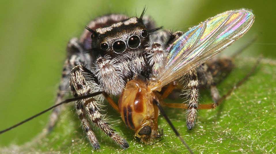 Jumping spider Phidippus mystaceus