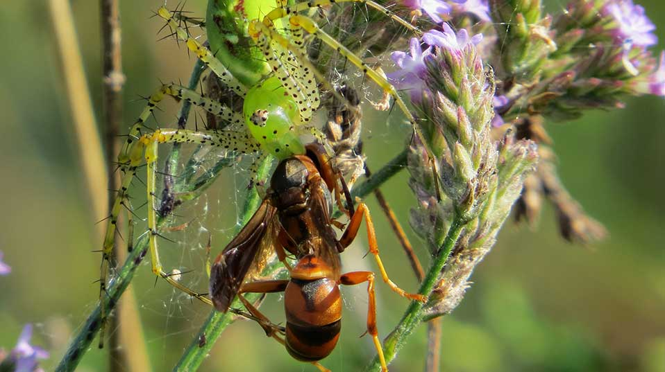 Green lynx spider Peucetia viridans feeding on a polistine wasp.