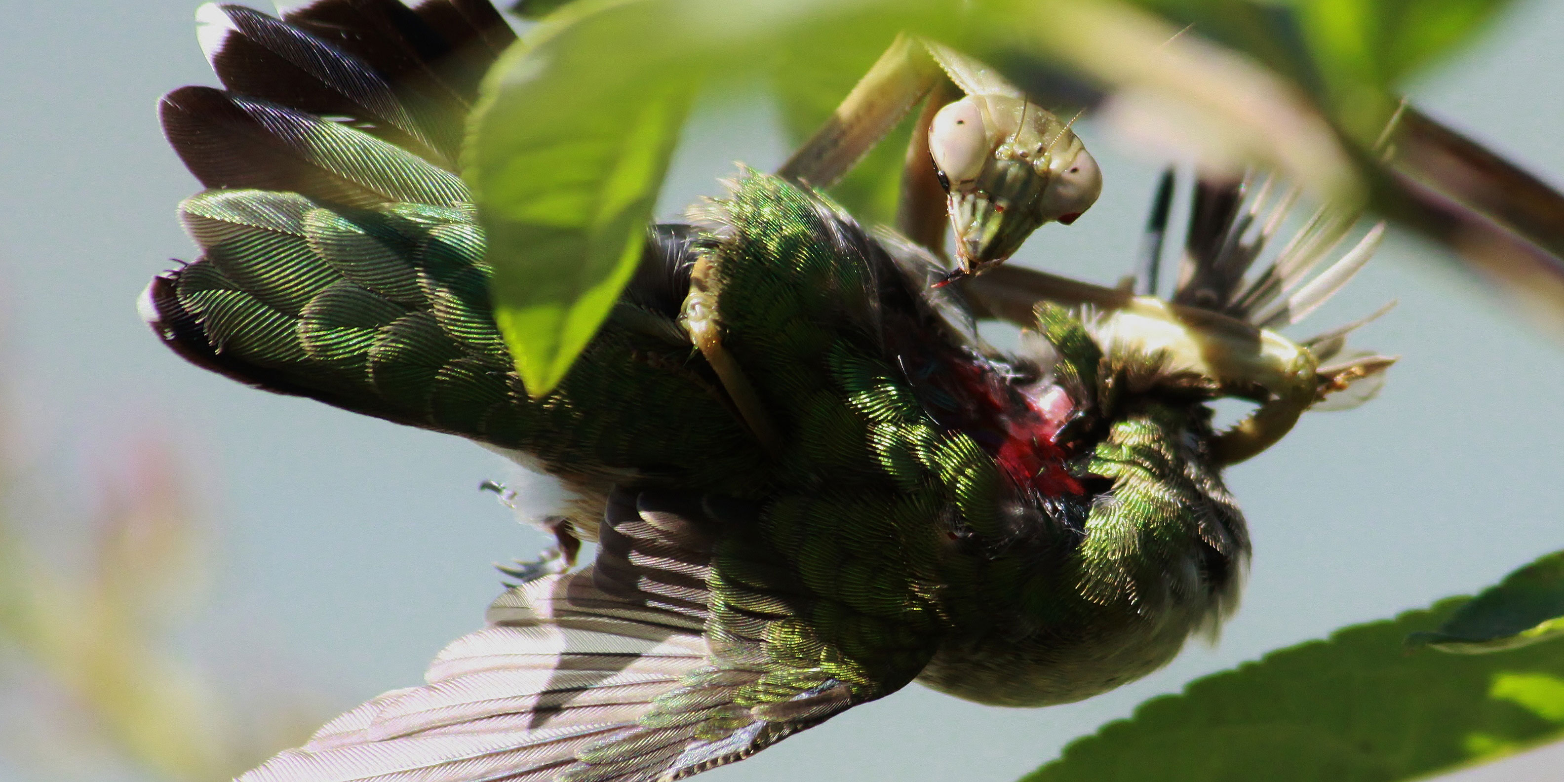 "Successful hunt: praying mantis (Tenodera sinensis) with a Ruby-throated Hummingbird (Archilochus colubris) as her prey. Illinois, USA (Image: courtesy from ""What's That Bug?"", Randy Anderson)."
