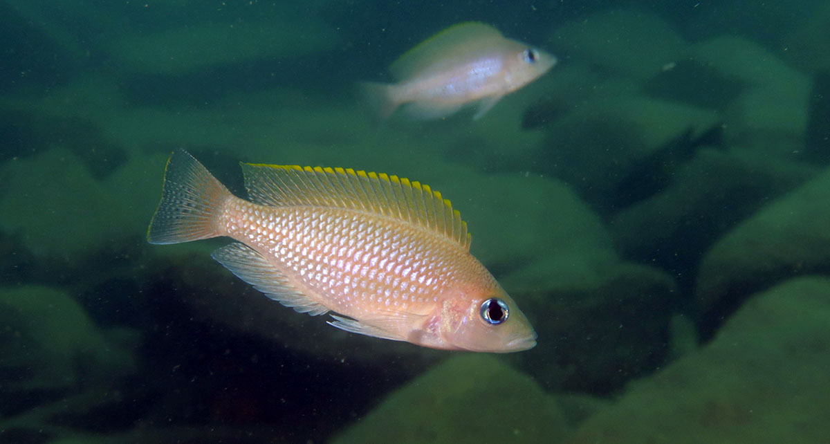 a cichlid from Lake Tanganyika