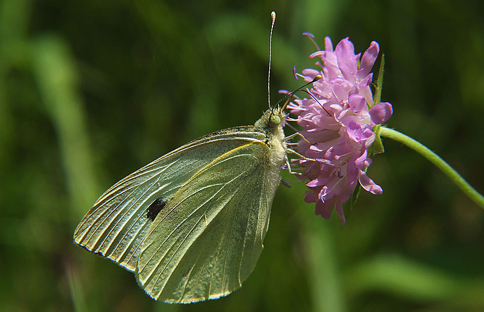 Female pieris rapae.