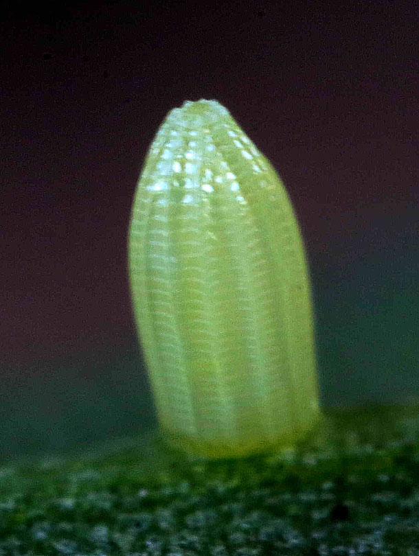 Laid egg of pieris rapae.