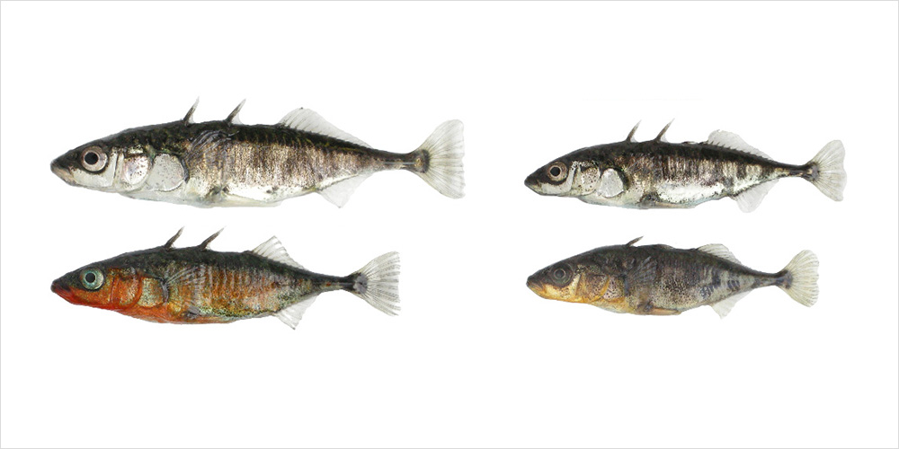 Two ecotypes of threespine stickleback fish can be found in and around Lake Constance. Each has developed under the influence of its specific habitat: lake stickleback on the left and river stickleback on the right. The two ecotypes differ in numerous morphological and behavioral traits; most striking are the differences in body size and in the breeding coloration of the males (lower row). (Illustration: University of Basel, Daniel Berner)