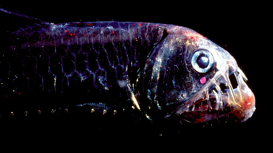 The viperfish (Chauliodus) has a prominent bioluminescent organ under its eye. (Image: Wen-Sung Chung, University of Queensland)
