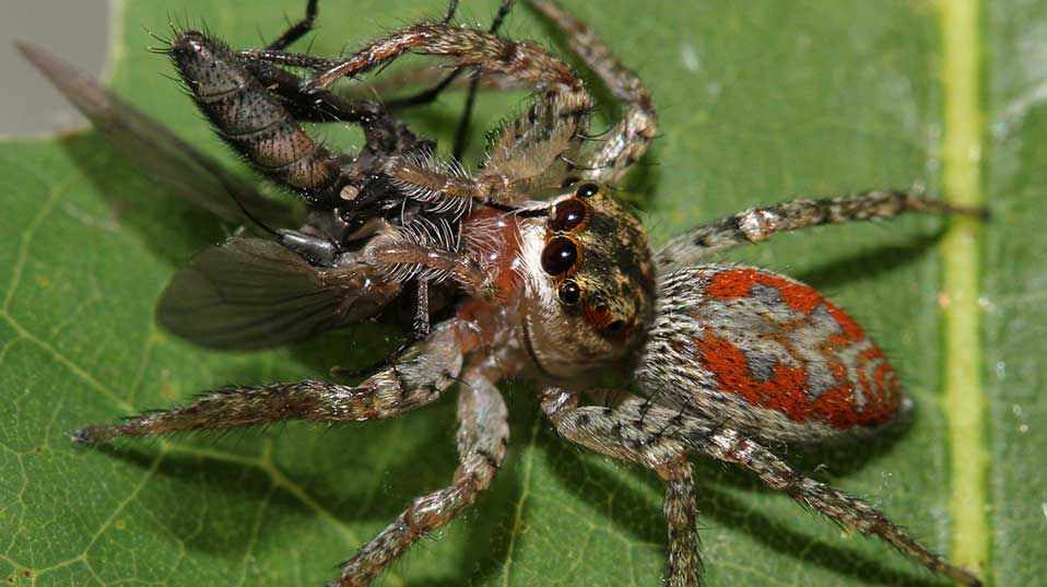 Jumping spider Maevia inclemens