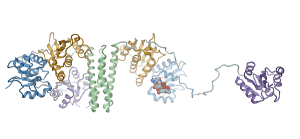 The signaling molecule c-di-GMP (spherical structure) activates a bacterial kinase (ShkA) by opening up its compact structure.