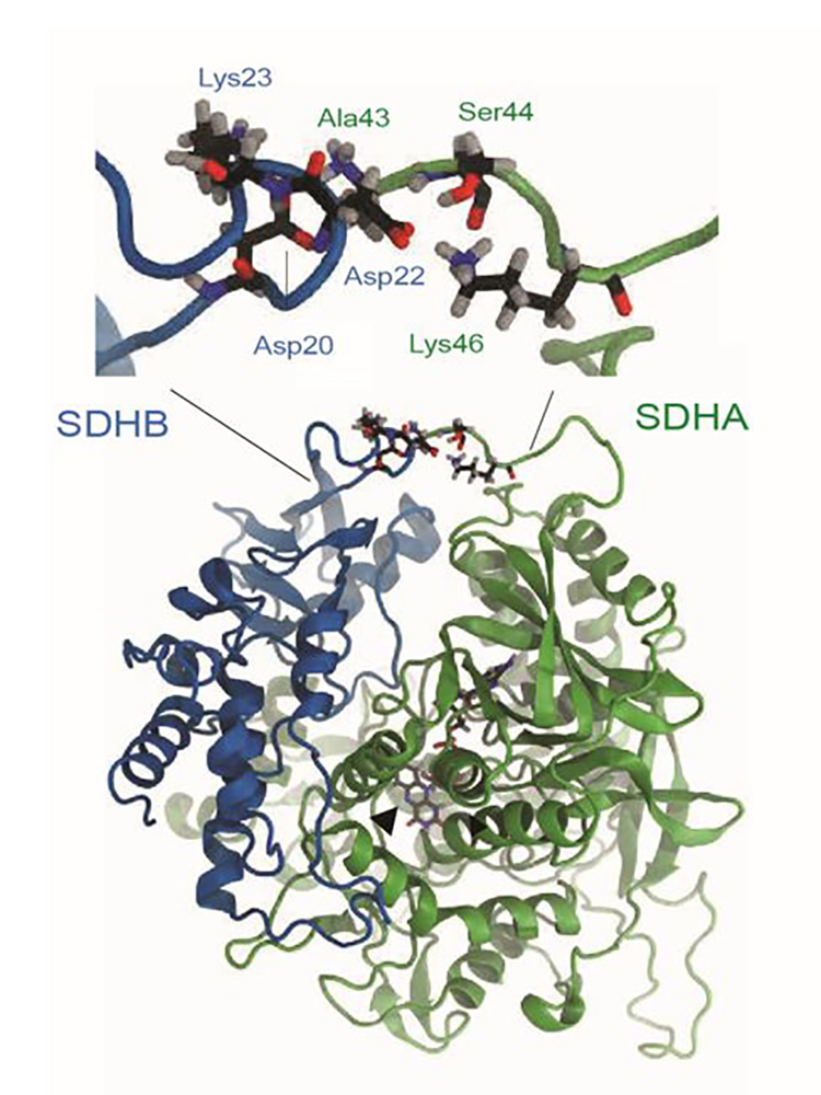 Molecular model: A typical interaction between the A45T mutated SDHA gene (green) and the SDHB gene (blue) – it increases the functioning of the whole complex and thereby triggers inflammation signals in the affected immune cells. (Image: DBM)
