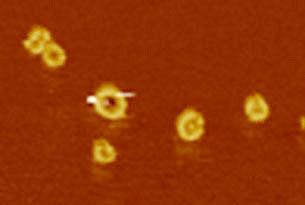 Bild der Poren in der Zellmembran, aufgenommen mit dem Rasterkraftmikroskop. (Bild: Universität Basel, Biozentrum)