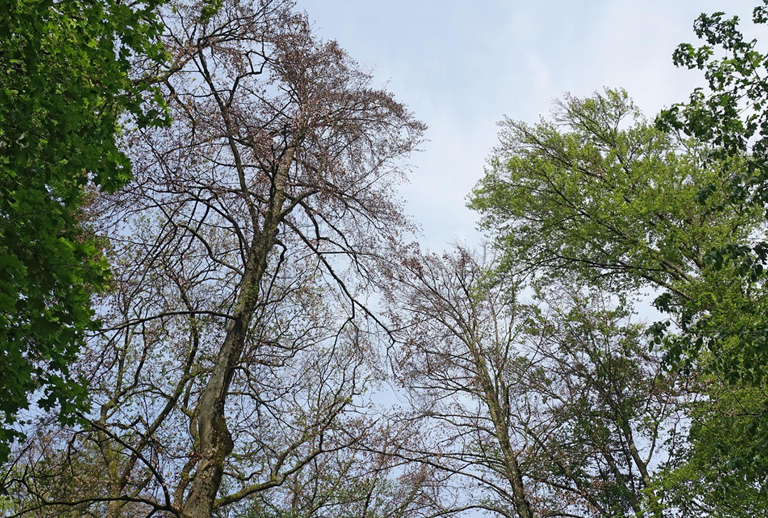 Same beech tree near Basel 2019: the tree stopped forming new shoots. (Photo: Urs Weber, University of Basel)