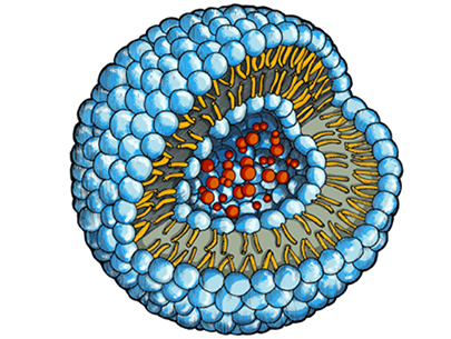 The drug molecules (red) are embedded in a water-filled cavity inside of the phopholipid vesicle.
