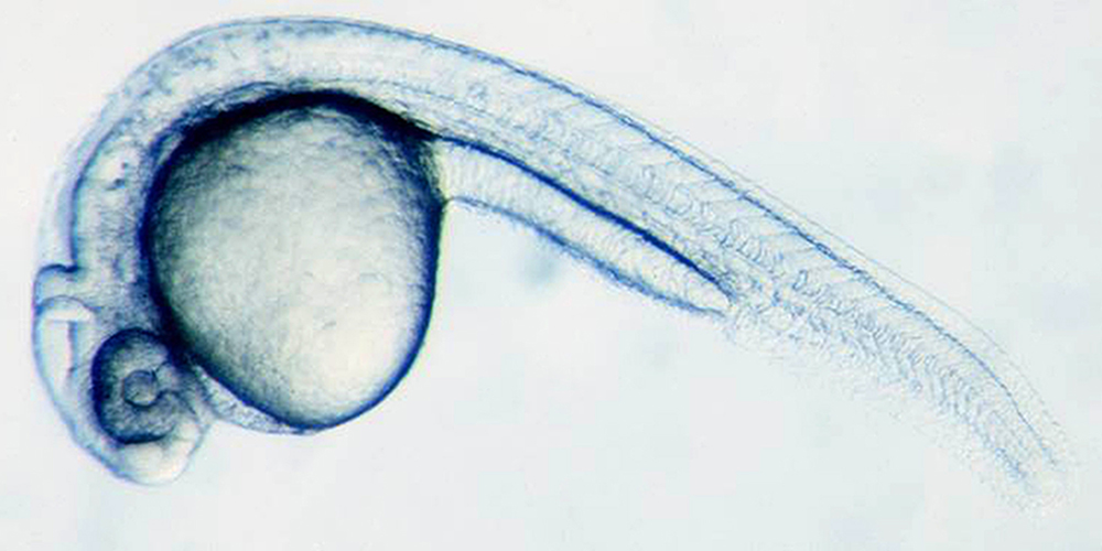 Development of a zebrafish, 28 hours post fertilization.