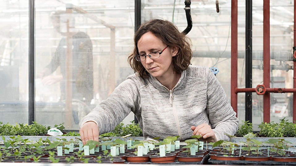 Testing: The effect of the extracts and their active constituents are tested on seedlings (left). Examination Dr. Barbara Thürig of the Research Institute of Organic Agriculture (FiBL) in Frick examines the seedlings in the greenhouse. (Image: University of Basel, Christian Flierl)